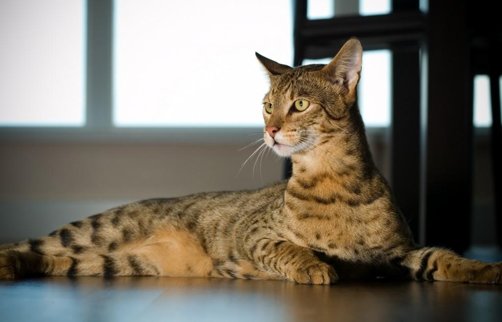 кошки 1024x658 Самая дорогая кошка в мире. Элитная порода.