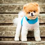 Самая дорогая собака в мире. Элитные породы собак.