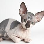 Самые дорогостоящие породы котов