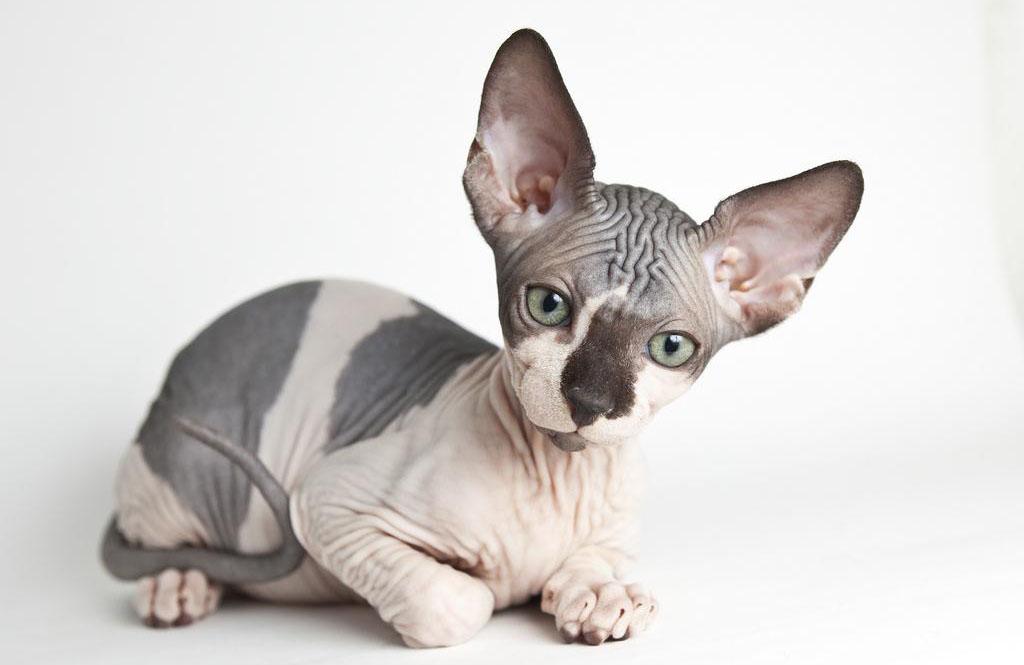 самые дорогостоящие породы Самые дорогостоящие породы котов